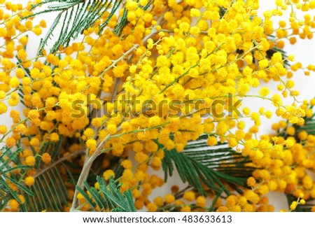 branch fresh and beautiful mimosa close up