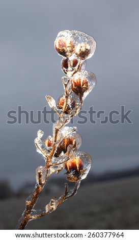 Branch from a crape myrtle that is covered in ice