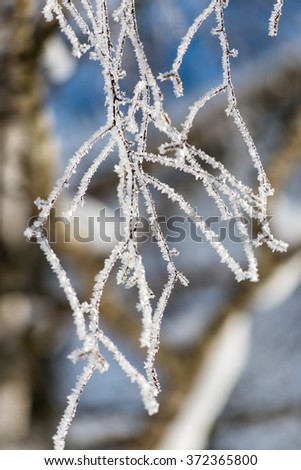 branch in hoar frost on cold morning in winter snow