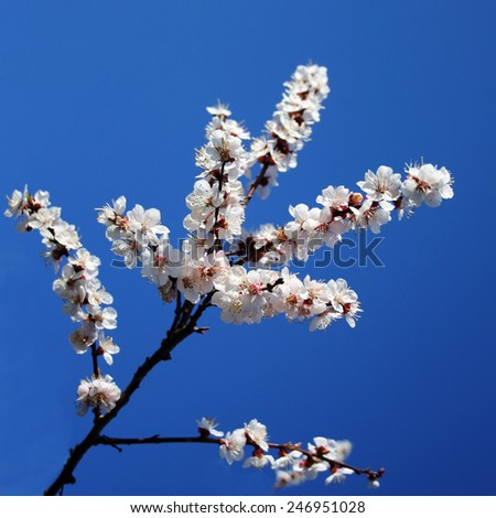 branch of a blossoming apricot against the blue sky