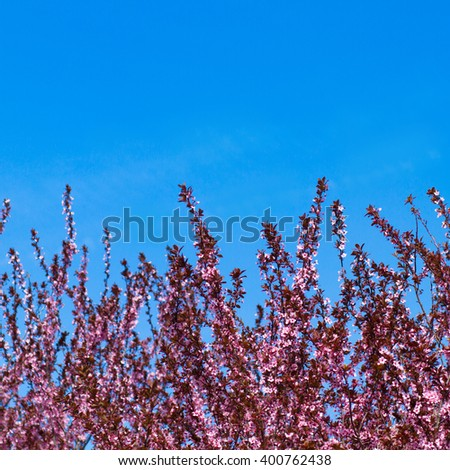 branch of a blossoming tree with beautiful pink flowers and blue sky - stock photo