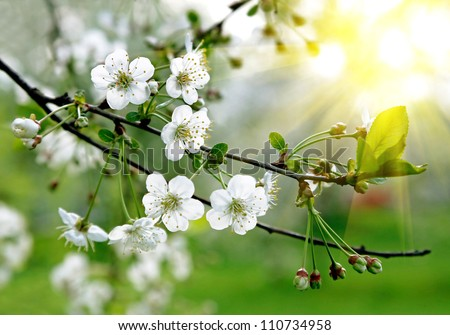 Branch of a blossoming tree with beautiful white flowers - stock photo