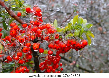 Branch of a bush with bright berries and green leaves after freezing rain - stock photo