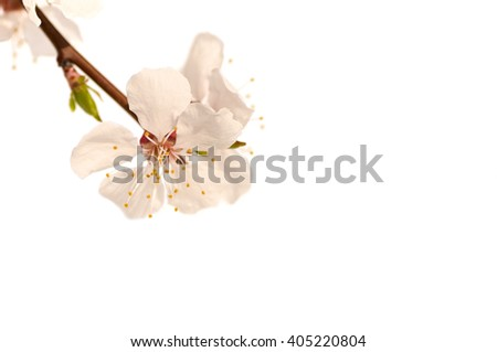 branch of a cherry blossom tree, pink flower on green background