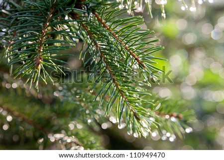 Branch of a coniferous tree macro - stock photo