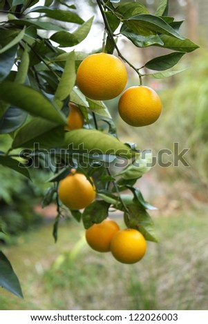 Branch of a Florida orange tree with ripe oranges.