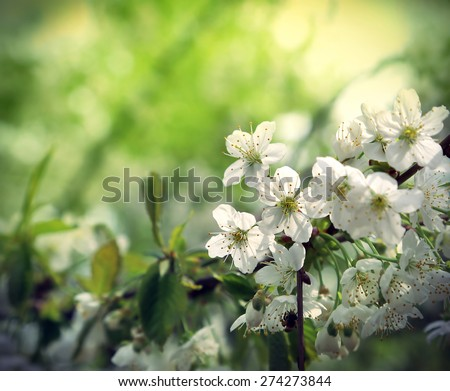 Branch of a flowering spring tree with beautiful white flowers - stock photo