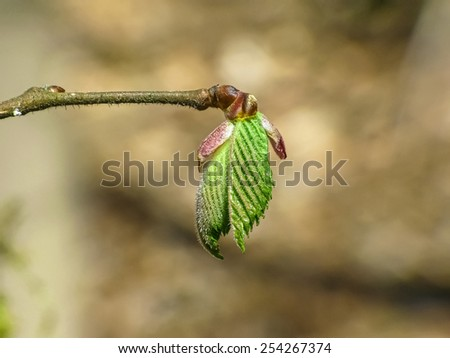 Branch of a hazelnut with young leaves - stock photo