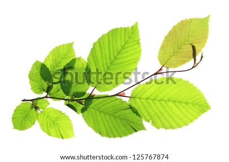 Branch of a hornbeam tree (Carpinus betulus) isolated in front of white background - stock photo