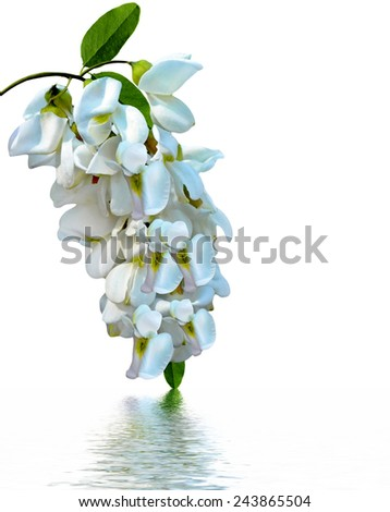 branch of acacia flowers isolated on white background - stock photo
