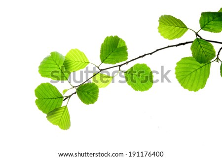 Branch of alder with green leaves isolated on white    - stock photo