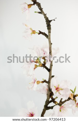 branch of an almond tree in bloom
