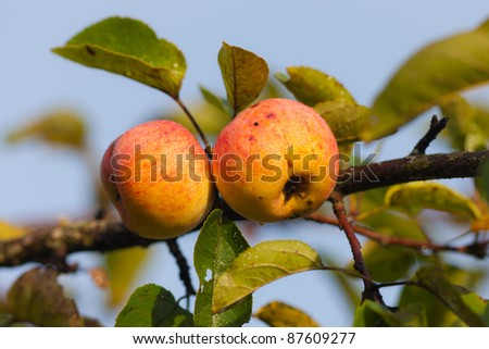 Branch of an apple-tree with a crop in the autumn