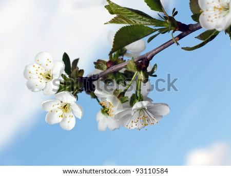 branch of apple blossoms against a background of sky