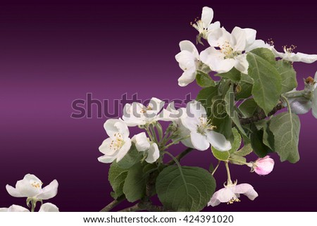 branch of Apple blossoms on the cherry background - stock photo