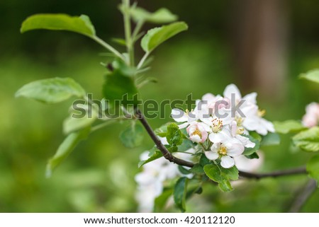 Branch of apple tree blossom, close up low aperture shot - stock photo