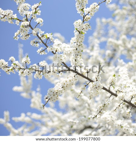 branch of apple tree with many flowers over blue sky - stock photo
