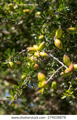 Branch of argan tree full of fresh and green fruits. Argan fruits are used for cosmetic products - stock photo