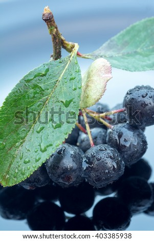 Branch of aronia in raindrops on black background - stock photo