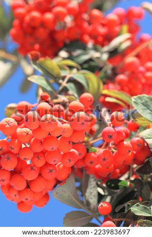 Branch of ashberry with leafs at sunny autumn day, close-up
