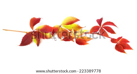 Branch of autumn grapes leaves (Parthenocissus quinquefolia foliage). Isolated on white background.  - stock photo