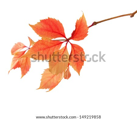 Branch of autumn leaves isolated on a white background.  Parthenocissus quinquefolia. studio  shot - stock photo