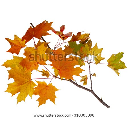Branch of autumn maple leaves isolated on white background - stock photo