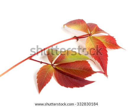 Branch of autumn red grapes leaves (Parthenocissus quinquefolia foliage). Isolated on white background. - stock photo