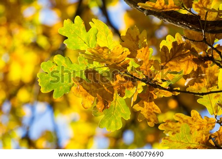 Branch of beautiful autumn oak leaves