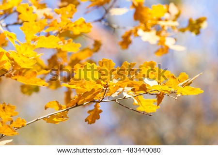 Branch of beautiful autumn oak leaves on the blue sky