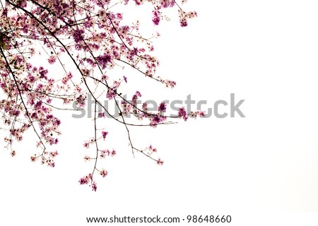 Branch of beautiful pink flower isolated on white background - stock photo