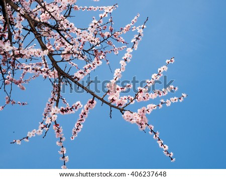 Branch of beautiful pink plum flower