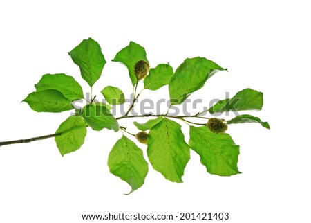 Branch of beech tree with green leaves and beechnuts isolated on white background