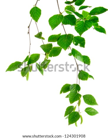 branch of birch trees with young leaves and buds on the white - stock photo