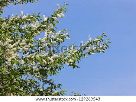 branch of bird cherry in spring against blue sky