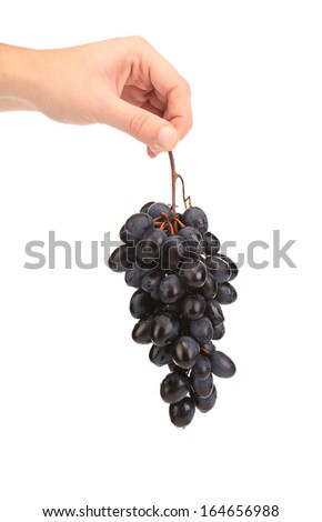 Branch of black ripe grapes in hand. Isolated on a white background. - stock photo
