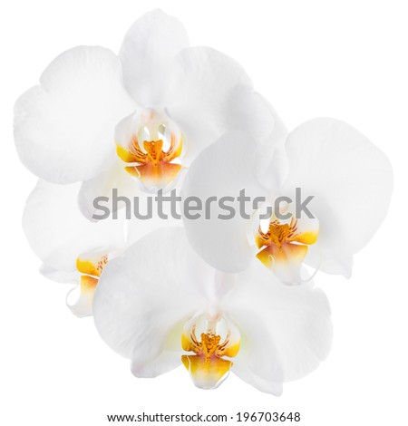 Branch of blooming beautiful white with yellow orchid flower, phalaenopsis is isolated on white background  - stock photo