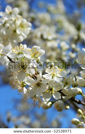 Branch of blooming fruit tree with white flowers #2 - stock photo