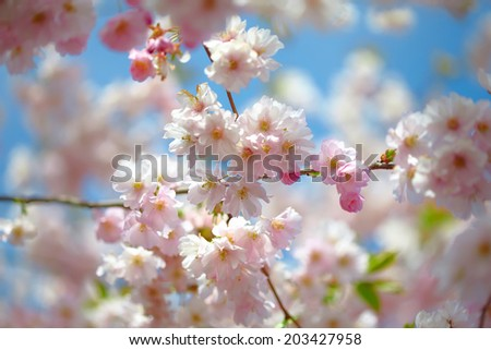 Branch of blooming pink Cherry blossom against blue sky - Sakura
