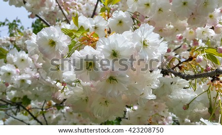 Branch of blooming spring tree with beautiful white flowers - stock photo