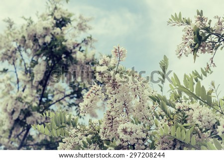 Branch of blooming white acacia with cloudy sky as a background - stock photo