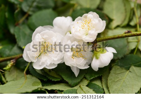 branch of blossoming apple tree - stock photo