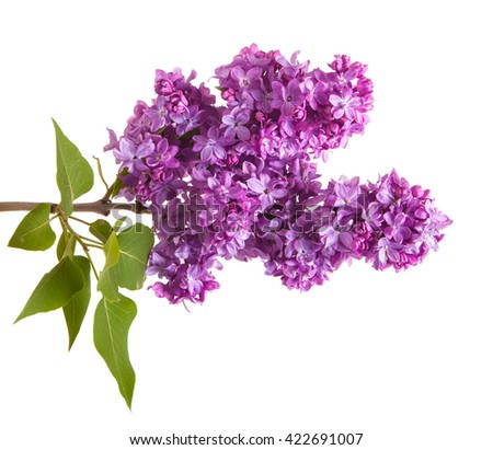 branch of blossoming purple lilac. Isolated on white background