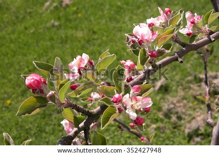 branch of blossoms  - stock photo