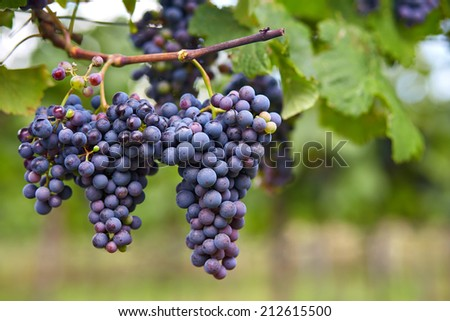 Branch of blue grapes on vine in vineyard - stock photo
