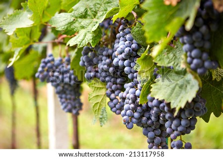 Branch of blue grapes on vine in vineyard, very shallow focus