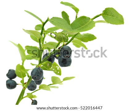 Branch of Blueberry isolated on a white background