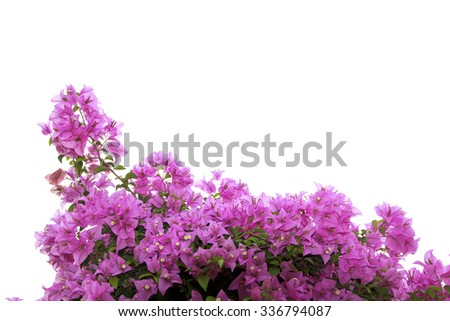 branch of bougainvillea flowers isolated on white background