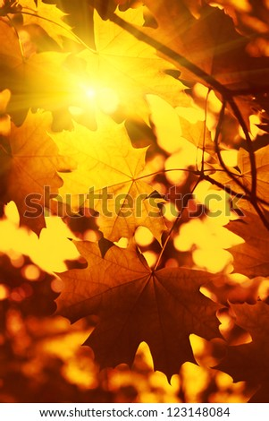 Branch of bright autumn maple foliage with sunlight - stock photo