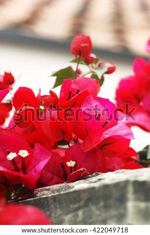 Branch of bright flowers bougainvillea - stock photo